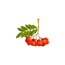 Rowan Berries Branch, Autumn And Fall Rowanberry Forest Tree With Leaves, Vector Isolated Icon. Thanksgiving Holiday And Autumn Season Harvest Of Rowan Berries