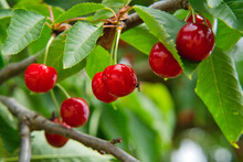 Great Harvest Of Ripe Red Cherries On A Tree Branch In Summer