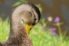 Dabbling Duck Cleaning Its Feathers (close-up)