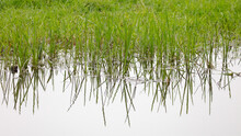 Small Green Reeds Growing At The Waters Edge