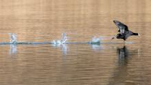 A Eurasian Coot Running Across The Water