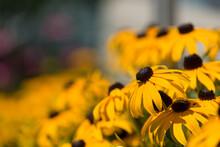 Black-eyed Susans Under The Sun