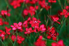 Maiden Pink Dianthus Deltoides Flowers In Summer Garden