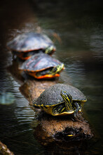 Trio Of Cooter Turtles