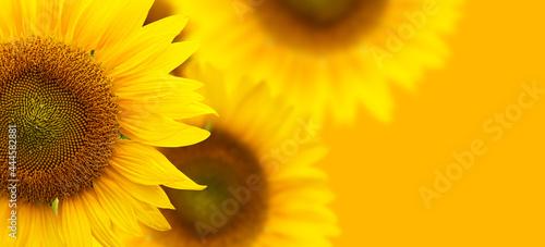 Canvastavla Sunflower background