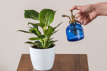 Philodendron White (Birkin) Plant In Pot On Table Being Sprayed With Blue Vintage Glass Misting Watering Bottle Held By Woman's Hand.