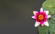 Lilia wodna na jeziorze, różowy kwiat, zielone liście na wodzie