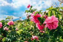 Bulgaria, Rose Plantation Valley. Rosa Damascena Farm, Rosebush.