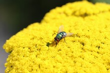 A Green Flesh Fly Sits At A Yellow Flower In The Garden In Summer Closeup