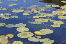 Green Petals Of Water Plants On The Water Surface, Marsh Lily Petals