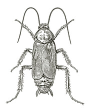 Male Oriental Cockroach Blatta Orientalis In Dorsal View, After Antique Engraving