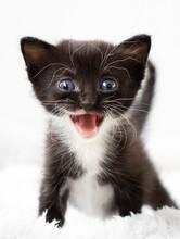Black And White Little Kitten
