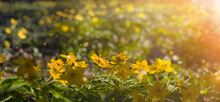 Sunlit Flower Meadow, Natural Background.Grass And Yellow Wildflowers