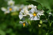 Close Up Of White Flowers Of Potato On The Potato Field