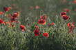 Czerwień w zieleni
