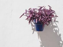Blue Pot With Plant With Botanical Name: Tradescantia Pallida