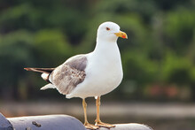 Looking Of Healthy And Strong Seagull Hovering On The Roof