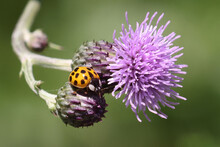 Honeybee On Prickle Collecting Pollen