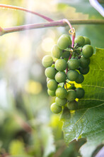 A Bunch Of Green Grapes.  Close-up Of A Ripening Branch Of Green Grapes In A Vineyard In The Sun.