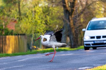 White stork running on the road, cars
