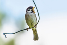 Tree Sparrow With An Caterpillar In Its Beak