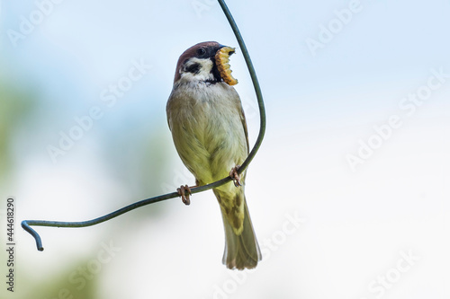 Photographie Tree sparrow with an caterpillar in its beak