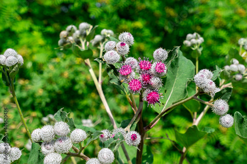 Fotografiet burdock flowers on natural plant background