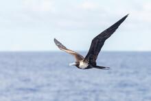 Frigate Bird Flying In Blue Sky. Large Seabird.