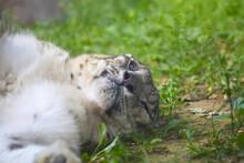 Beautiful Snow Leopard Having A Siesta In The Zoo.