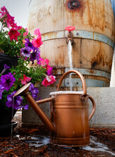 Old Wine Barrel Converted Into A Backyard Rain Barrel Overfills Watering Can Placed Near Purple And Pink Petunias  On A Summer Day