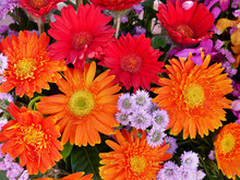 Beautiful Bright Gerbera Daisy Flowers Bouquet. Floral Background.