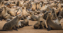 Seals At The Cape Cross Seal Reserve On The Skeleton Coast In Namibia. Cape Cross Is Home To One Of The Largest Colonies Of Cape Fur Seals In The World.