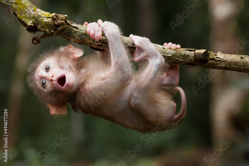 Fotografie, Tablou Cute monkeys and where they life in nature