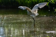 Great White Egret Taking Off