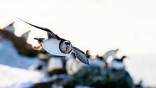 Atlantic Puffin (Fratercula Arctica) At Hornøya Island, Norway