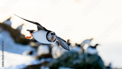 Photographie Atlantic puffin (Fratercula arctica) at Hornøya island, Norway