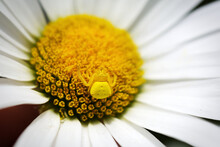 Yellow Crab Spider On Yellow And White Flower