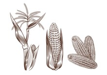 Hand Drawn Vintage Corn. Cereal Plants Sketch Drawing. Agriculture Harvest. Maize Cobs, Stalk With Leaves And Flower. Grain Food Cultivation. Isolated Sweetcorn Set. Vector Farming Crop