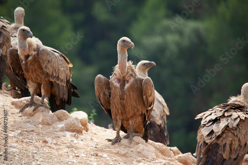 Canvas Print group of vultures eating in the wild