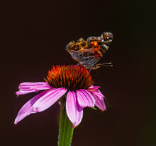Side View Of An American Lady Butterfly On A Pink Coneflower