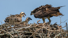 Osprey Feeding Fish To Its Babies In The Nest