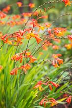 Close Up Of Orange Crocosmia Flowers In A Garden In Summer