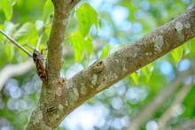 アブラゼミ 成虫 Brown Cicada