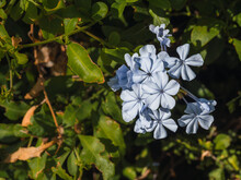 Blue Jasmine (Plumbago Auriculata), Also Known As Malacara, Celestina, Isabel Second, Blue Plumbago