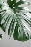 Fototapeta Kawa jest smaczna - Close-up of textured leaves of tropical plant monstera.