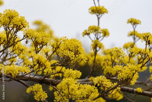 Fototapeta Yellow flower of cornus officinalis,  Japanese cornelian cherry