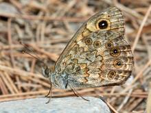 Golden Brown Butterfly. Lasiommata Megera