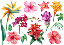 Set Of Tropical Flowers, Isolated Background, Watercolor Illustration Strelitzia, Hibiscus, Orchid, Turmeric, Guzmania