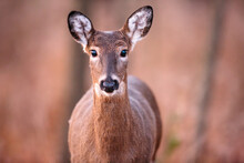 A White-tailed Doe, Looking Directly Into The Camera In Early November Near Hartford, Wisconsin