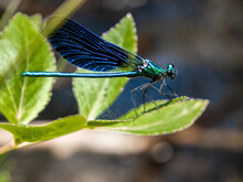Blue Dragonfly Perched In Green Grasses By A River